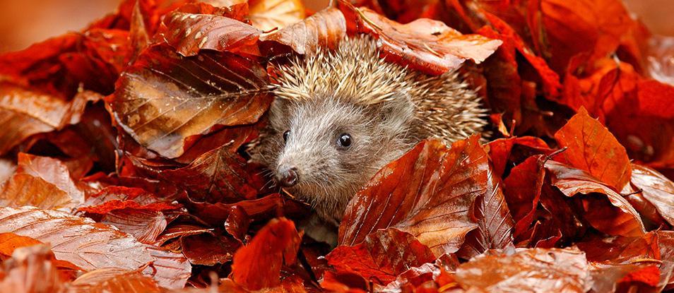 Keep+Hedgehogs+Safe+this+Bonfire+Night+