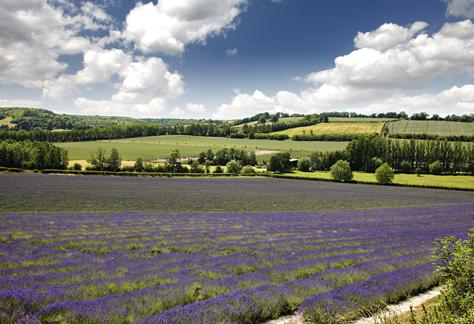 Ward Homes. lavender fields image near Brasted